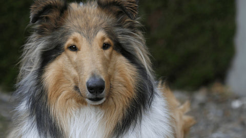 Collie looking at the camera