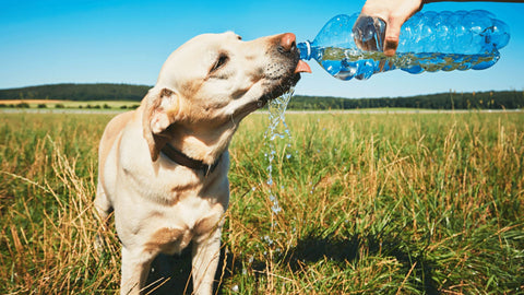 dog drinking water in a field from a bottle on a sunny day