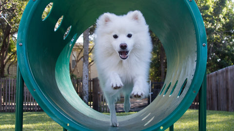 white dog in tunnel at dog park