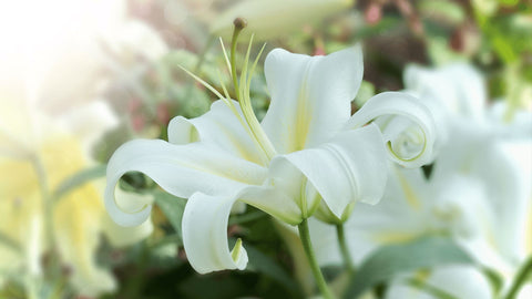white lillies toxic to cats