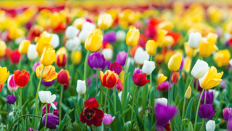colourful tulips toxic to cats