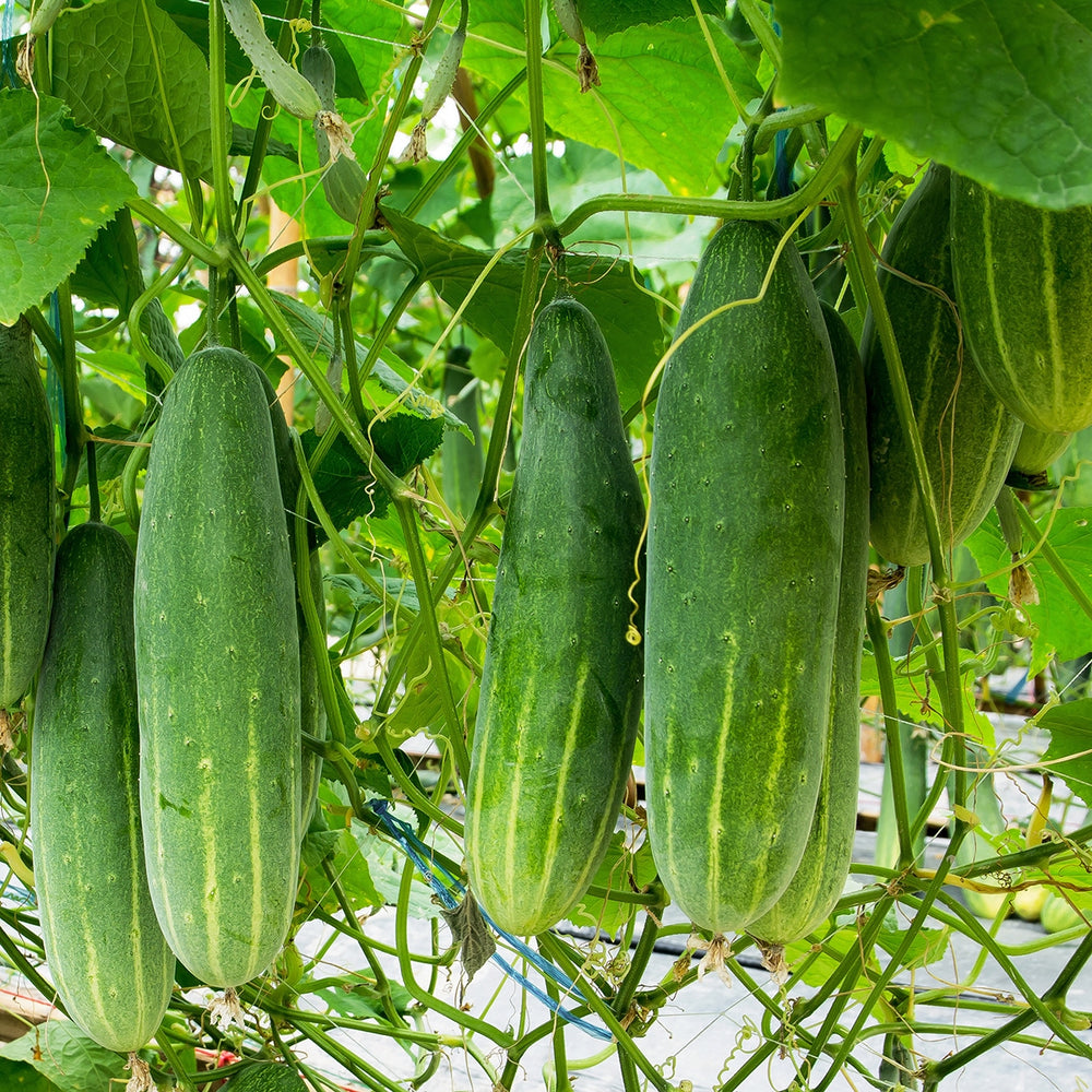 Purely Organic Heirloom Cucumber Seeds (Marketmore 76) - Approx 140 Seeds