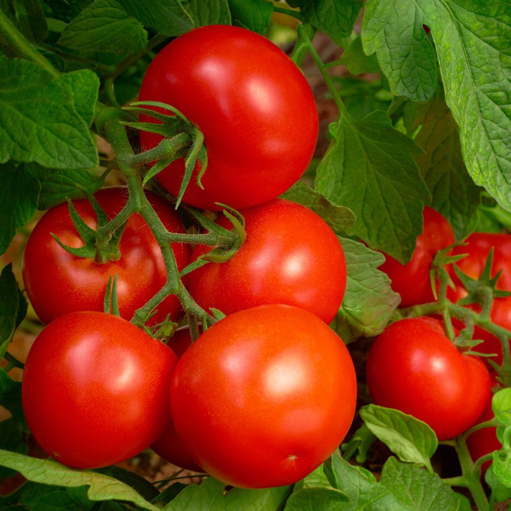 8-8-8 Tomato & Vegetable Plant Food  (Case of 8 Bags)