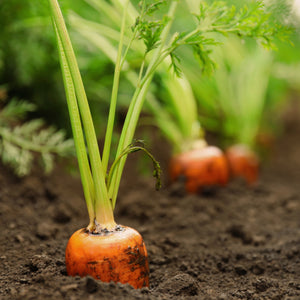 The Old Farmer's Almanac Carrot Seeds (Heirloom Tendersweet)