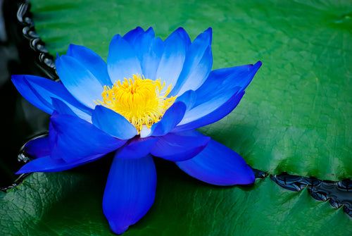 The Significance Of The Lotus Flower Nefertem