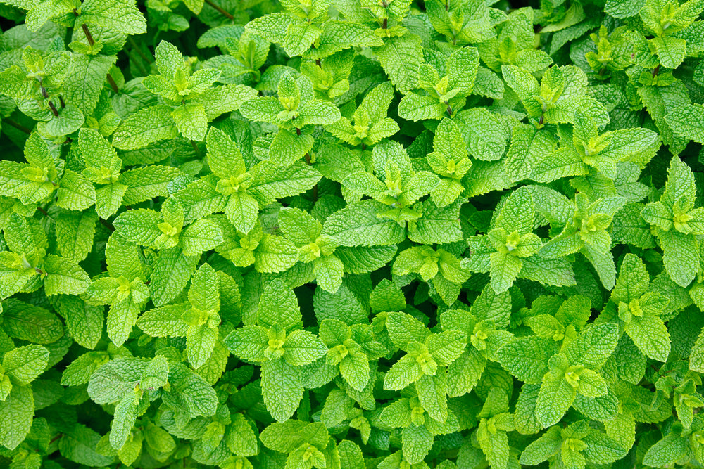 peppermint essential oil nefertem