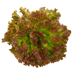 Red leaf lettuce (Sunday)
