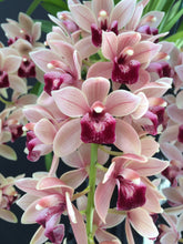 Load image into Gallery viewer, Cymbidium Mary Green 'Rosy'