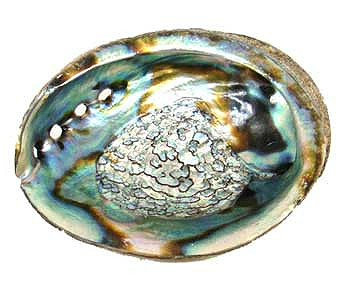 Abalone Shell Incense Burner 4 to 5 inch