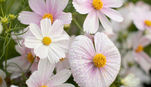 Flower of the Week: Cosmos