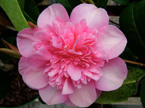 Camellia, PInk Camellia, Spring Flowers, Spring flowering shrub, ericaceous plants, pink flower