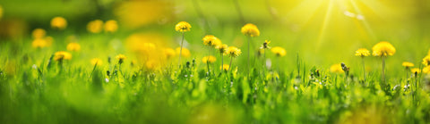 dandelions. plants for bees, pollinating plants, plants for pollinators,