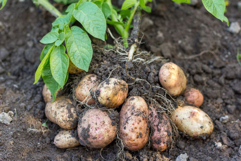 Seed Potatoes, First Earlies Seed Potatoes, Second Earlies Seed Potatoes, Maincrop Seed Potatoes, Blight Resistant Seed Potatoes