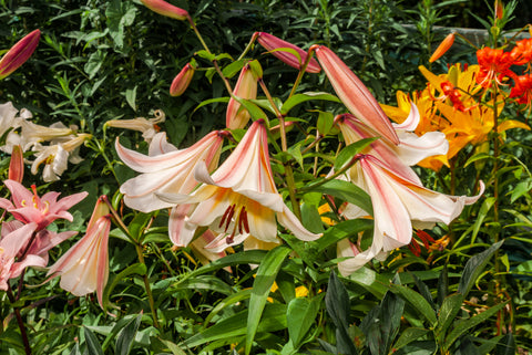 Regal Lily, Lilium regale, white lily, scented white lily, summer flowering lily