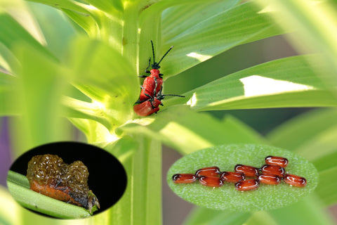 Lily Beetle, Red Beetle