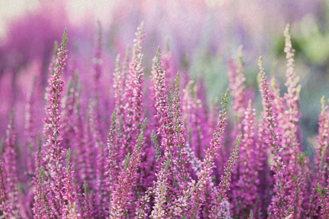 Irish Heather, Pink Heather, Purple Heather