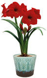 Amaryllis, Hipeastrum, Amaryllis Red Lion, Amaryllis Bulbs, Large Bulbs, Christmas Gifts, Christmas flowers, Christmas Gifts for gardeners, Gardening gift, gifts for gardeners, Red flowers
