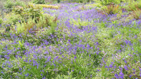 Bluebell, Bluebell bulbs, bluebell wood, spring bulbs, spring flowering bulbs, English Bluebells, Irish Bluebells