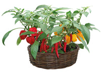 Patio Flavours Wicker Ring of Fire Chili Grow set, Thai Cayenne, Habanero Chili, Naga Bhut Jolokia ChiliRed Hot Chili Kit, Chilli Plants, Red Hot Chilli Kit, Chilli Plants, GIY, GYO, Allotment growing, Grow your own food, kitchen gardening, Chili Seeds