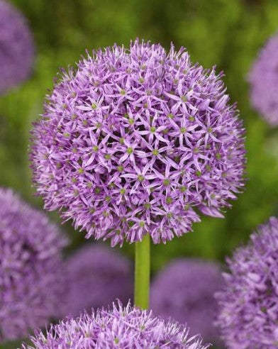 Allium Gladiator The Irish Gardener Store