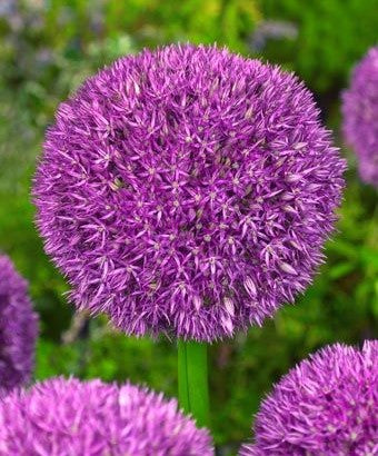 Giant Allium, Allium Pinball Wizard, Purple Allium,  Allium, Alliums, Allium Bulbs, Ornamental Onion