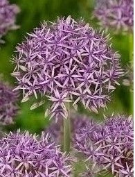 Purple Allium, Allium Violet Beauty, Allium, Alliums, Allium Bulbs, Ornamental Onion