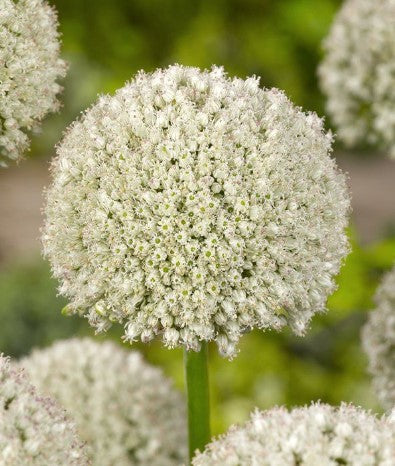Allium, Allium White Cloud, Allium flowers, Allium Bulbs,  Allium, Alliums, Ornamental Onion, White Allium, White Allium flower, White Ornamental Onion