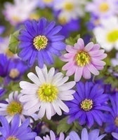 Anemone blanda, Anemone blanda mixed colours, anemone blanda white, anemone blanda white, Anemone, Windflower, Winter windflower, Spring Bulbs, Spring flowering Bulbs,