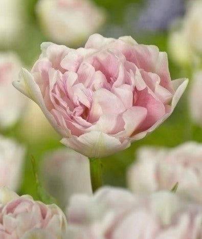 Tulip Angelique, Pink Tulip, Double Tulips, Double Pink Tulips, Tulips, Tulip, Tulips from Amsterdam, Tulips from Holland, Dutch Tulips, Tulip bulbs, Tulip flowers, Spring flowering bulbs, spring flowering tulips