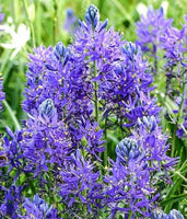 Camassia Blue Melody, Camassia, Wild Hyacinth, Spring flowers, Blue flower, Spring bulbs, Spring flowering bulbs, bulbs for naturalizing
