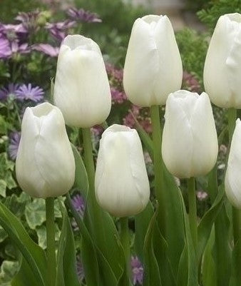 Tulip Catherina, Tulips, Tulip, Tulips from Amsterdam, Tulips from Holland, Dutch Tulips, Tulip bulbs, Tulip flowers, Spring flowering bulbs, spring flowering tulips, white tulip