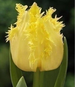 Tulip Crispy Gold, Fringed Tulip, Fringed yellow tulip, Yellow Tulip, Golden Tulip Tulips from Holland, Tulips from Amsterdam, Dutch Tulips, Spring Flowers, Tulip Bulbs, Tulip flowers