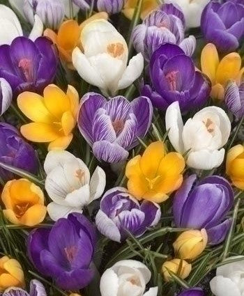 Crocus, Mixed Crocus, Mixed Colours Crocus, Spring Bulbs, Spring flowering Bulbs,