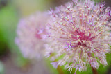 Allium Gladiator, Allium, Alliums, Allium Bulbs, Ornamental Onion