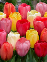 Darwin Hybrid Tulips, Darwin Tulips, Mixed colour tulips,Tulip Apeldoorn, Red Tulip, Tulips from Holland, Tulips from Amsterdam, Dutch Tulips, Spring Flowers, Tulip Bulbs, Tulip flowers