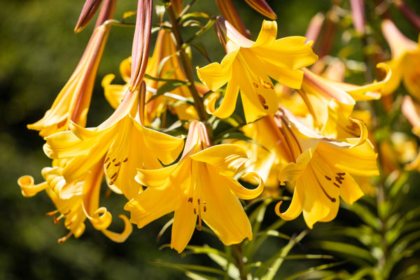 Lilium Golden Splendour, Yellow Lily, Golden Lily, Trumpet Lily, Scented Lily, Summer flowering Lily