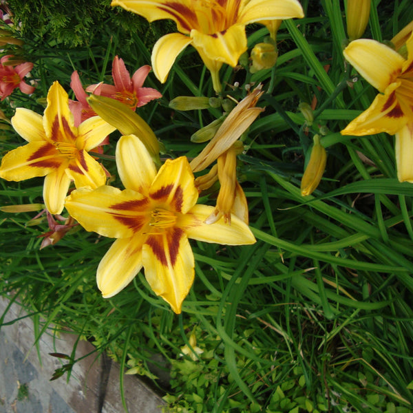Lilium Robert Swanson, Yellow Lily, Summer flowering Lily