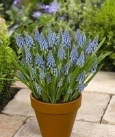 Muscari armeniacum, Muscari, Grape Hyacinth, Blue flowers, Blue Spring flowers, Spring Bulbs, Spring flowering Bulbs,