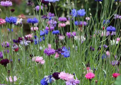 wildflower meadow, wildflowers,blue cornflower, plants for bees, plants for pollinators
