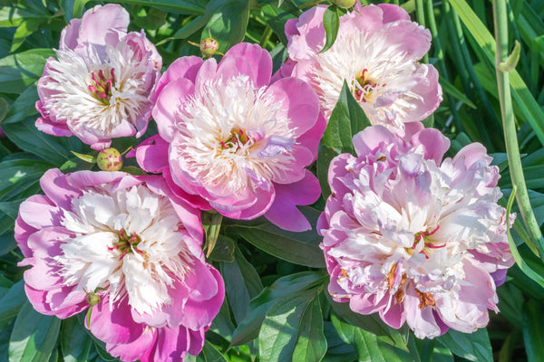 Paeony Bowl of Beauty, Paeonia Bowl of Beauty, Pink Peaony, Paeony Rose, Peony Rose, Pink Peony Rose, Pink Paeony, Pink Peony Pink Paeonia