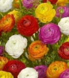 Ranunculus, Mixed Colour Ranunculus, Ranunculus mixed colours, cottage garden plants, Spring Bulbs, Spring flowering Bulbs,