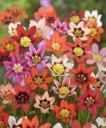 Sparaxis, Harlequin Flower, Kaleidoscope flower, Spring Bulbs, Spring flowering Bulbs,