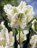 Tulip White Rebel,  Tulips, Tulip, Tulips from Amsterdam, Tulips from Holland, Dutch Tulips, Tulip bulbs, Tulip flowers, Spring flowering bulbs, spring flowering tulips, Parrot tulip, white tulip