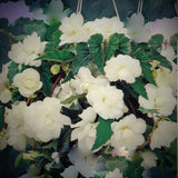 Trailing Begonias, Cascading Begonias, Begonias for hanging baskets, hanging begonias, Plants for hanging baskets, White begonias, White flowers, White Trailing Begonia