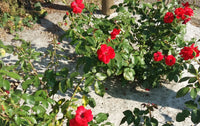 Organic Weed Block, Compostable weed block, roses growing in organic weed control fabric,