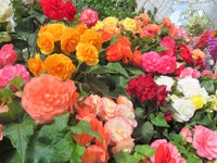Mixed Tuberous Begonias,Begonia, Yellow Begonia, Tuberous Begonia, Yellow Tuberous Begonia, Summer Flowering Begonia, Yellow Flower