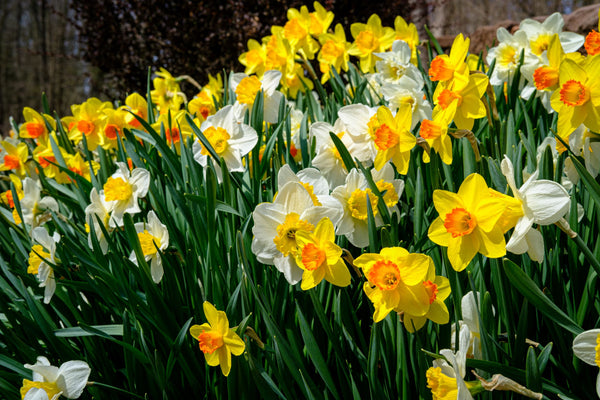 Mixed Daffodils, Mixed Narcissus, Mixed Daffodil bulbs, Daffodil bulbs, spring bulbs, spring flowering bulbs, spring flowers, Daffodils