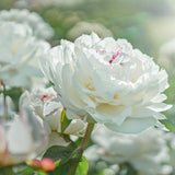 Paeony Couronne d'Or, Paeonia Couronne d'Or, White Peaony, Paeony Rose, Peony Rose, White Peony Rose, White and red paeony, White Paeony, White Peony White Paeonia