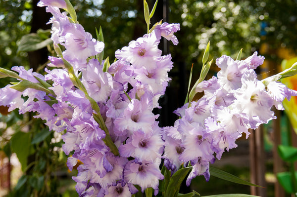 Gladiolus Her Majesty, purple, Gladioli pink, Gladiola, Gladiolus, Gladioli, purple Gladiolus, Summer flowering bulbs, summer bulbs, summer flowers, Spring bulbs, Spring flowering bulbs, bulbs for naturalizing