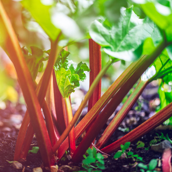 Rhubarb Crowns, Rhubarb Stools, Rhubarb Goliath, Grow your own Rhubarb, Grow Your Own FOod, Grow Your Own, Edible Garden, Edible Plants, Kitchen Gardens, Allotment gardening, GIY, GYO